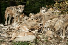 A pack of wolves. On a rock stock photo