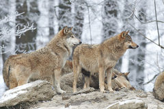 A Pack of wolves Stock Photography