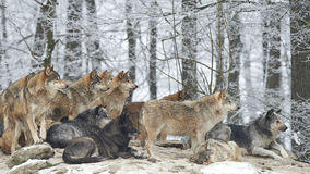 A Pack of wolves. In snow stock photography