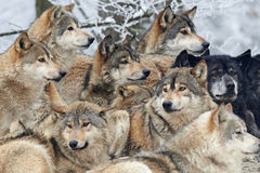 A Pack of wolves. In snow royalty free stock photos