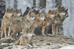 A Pack of wolves. In snow