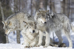 Pack of wolves. Three wolves in nature during winter royalty free stock image