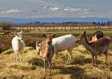 Pack of young fallow deer Stock Images