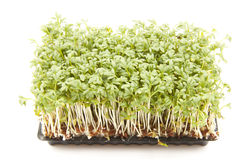 Package of Growing Sprouts. Watercress or sprouts, growing in a black plastic container Stock Photography
