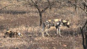 Packe av afrikansk lös hundkapplöpning som vilar och spelar på savannet arkivfilmer