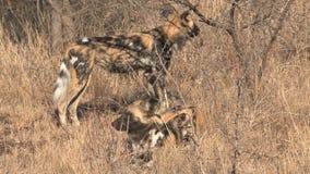 Packe av afrikansk lös hundkapplöpning som vilar och spelar på savannet lager videofilmer