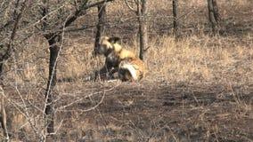 Packe av afrikansk lös hundkapplöpning som vilar och spelar på savannet stock video