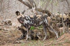 Packe av afrikansk Wild hundkapplöpning Arkivbilder