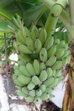 Packe av bananen Royaltyfri Foto