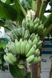 Packe av bananen Arkivbild