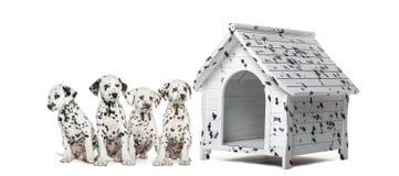 Packe av Dalmatian valpar som i rad sitter bredvid en hundkoja Arkivfoto