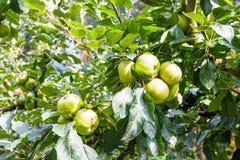 Packe av gröna äpplen på träd Arkivfoto