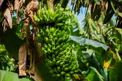 Packe av gröna bananer som växer på trädet på den tropiska skogen Arkivbild