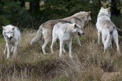 Packe av Grey Wolves Arkivbilder