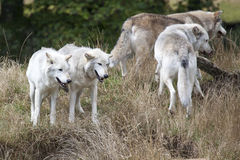 Packe av Grey Wolves Arkivbild