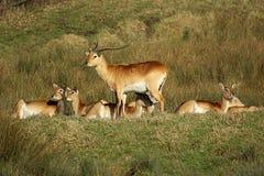 Packe av hjortar Arkivbild