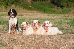 Packe av hundar royaltyfria foton
