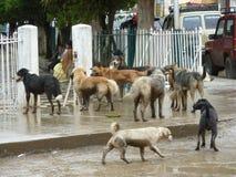 Packe av hundkapplöpning Royaltyfria Bilder