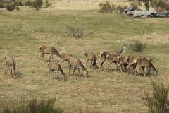 Packe av röda deers, medan äta Royaltyfri Bild