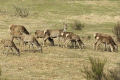 Packe av röda deers, medan äta Fotografering för Bildbyråer