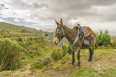 Packed Mule Resting Latacunga Ecuador. Packed mule resting at andean landscape at Quilotoa, Lacatunga, Ecuador Stock Photo