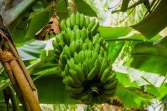 Packen av barn gör grön bananer som växer i den tropiska skogen på ön Royaltyfria Foton