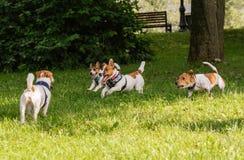 Packen av fyra Jack Russell Terrier hundkapplöpning som stojar och stojar av koppeln på, parkerar Royaltyfri Bild
