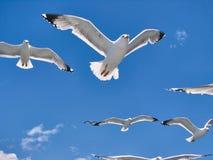 Packen av härliga seagulls flyger i himlen Arkivfoto
