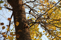 Packen Sie das Springen auf den Stamm eines Baums im Herbst weg Lizenzfreie Stockbilder