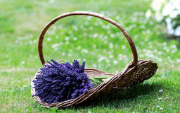 A Packet Lavender Stock Photography