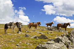 Packhorse herd horses waiting for their riders. In the mountains Stock Images