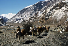 Packhorse, Nepal. Pack horses in a valley of the Himalaya, Nepal Royalty Free Stock Photo