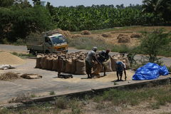 Packing of harvested paddy. Mar 11, 2015.harvested grains from paddy fields were cleaned seperated from sand and stones and packed in gunny bags with the help of Royalty Free Stock Photo