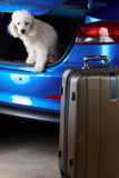 Packing luggage in car trunk. With white poodle dog Royalty Free Stock Photography