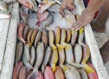 Packing reef fish at a market Royalty Free Stock Image