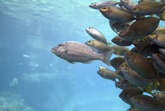 PackLeader. A Barred Grunter (Pomadasys kaakan Cuvier) leading a school of Black Spinefoot (Siganus spinus Stock Images