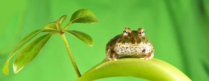 pacman的青蛙 库存图片