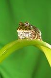 pacman的青蛙 免版税库存照片