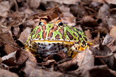 Pacman frog Stock Images
