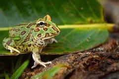 Pacman frog. Ceratophrys ornata amphibien stock photography