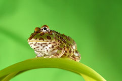 Pacman frog Royalty Free Stock Images
