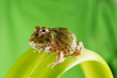 Pacman frog Royalty Free Stock Photography