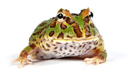 Pacman frog. Ceratophrys ornata makro royalty free stock photo