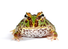 Pacman frog Stock Image