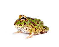 Pacman frog. Ceratophrys ornata makro royalty free stock photography