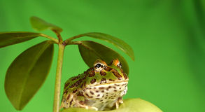 Pacman frog. Ceratophrys ornata makro stock image