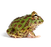 Pacman frog Stock Photos