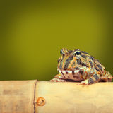 Pacman frog funny tropical toad Royalty Free Stock Image