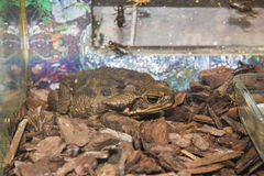 Pacman frog or horned toad Royalty Free Stock Photos