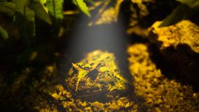 Pacman frog is waiting for something. Animal, jump, rock, habitat, nature, moist royalty free stock photos